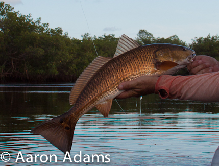 redfish for release
